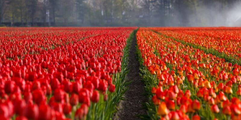 Dzień Kobiet i czerwone tulipany